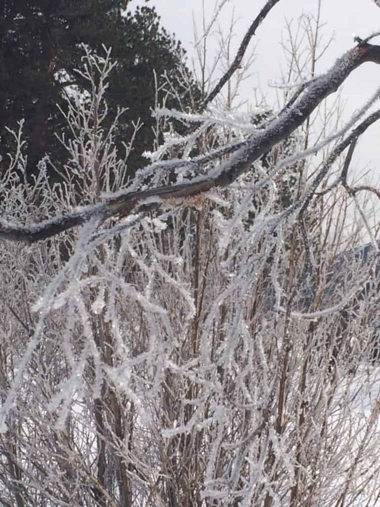 Close-up view of icicles on a tree seen while snowshoeing in Rocky Mountain National Park.