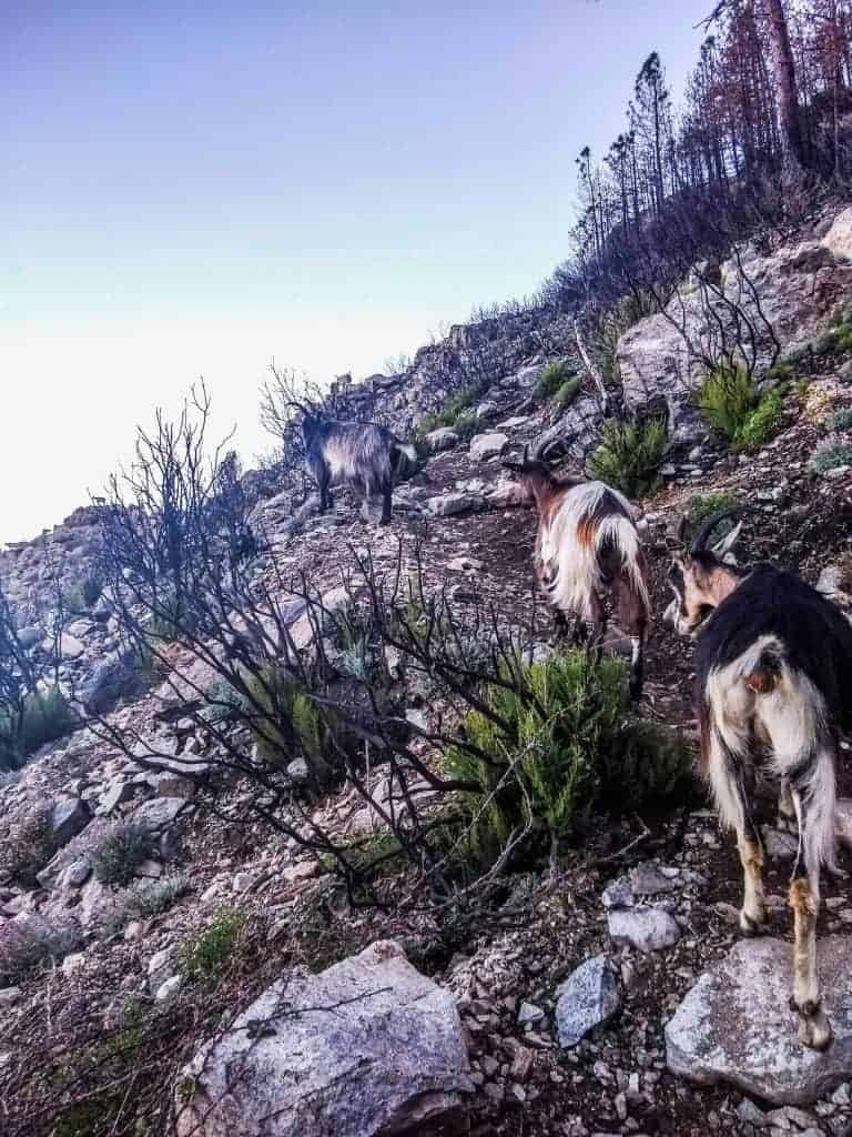 Goats on the GR20 trail