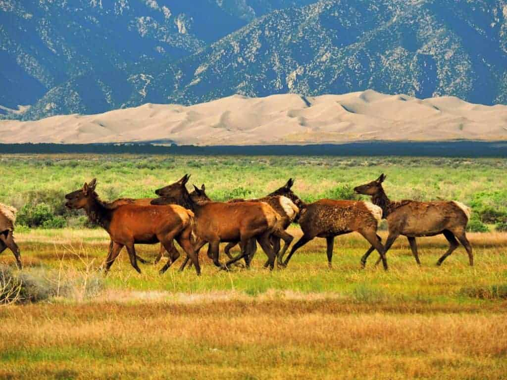 Elk herd in Great Sand Dunes National Park.