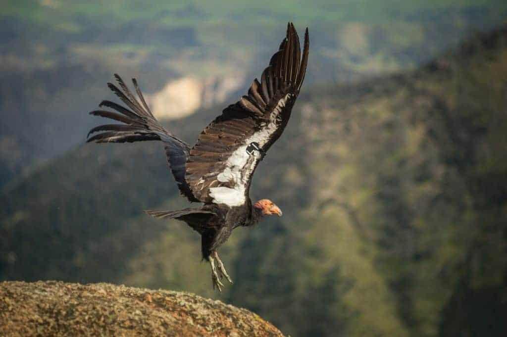 A California Condor at Pinnacles National Park.
