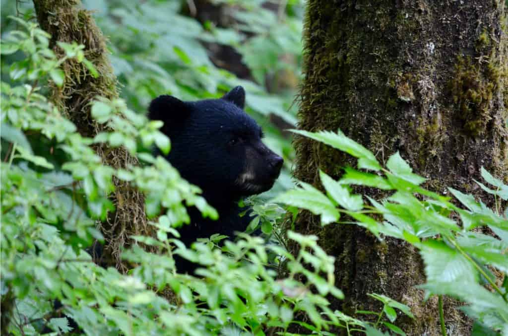 Black bear in Shenandoah.