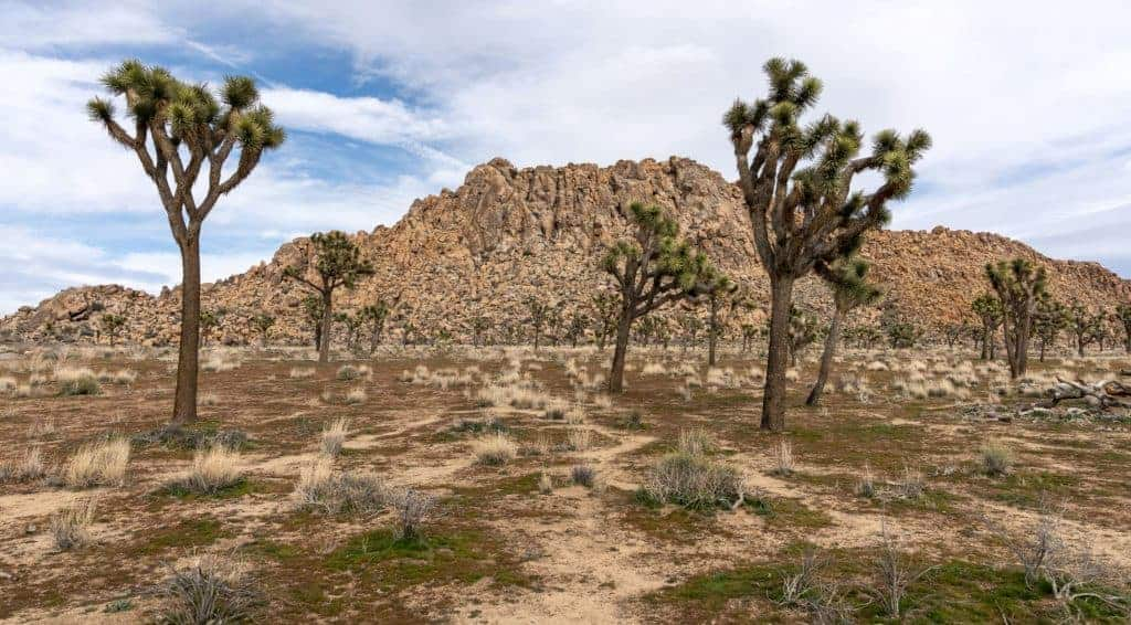 Joshua Trees in front of mountain landscape.