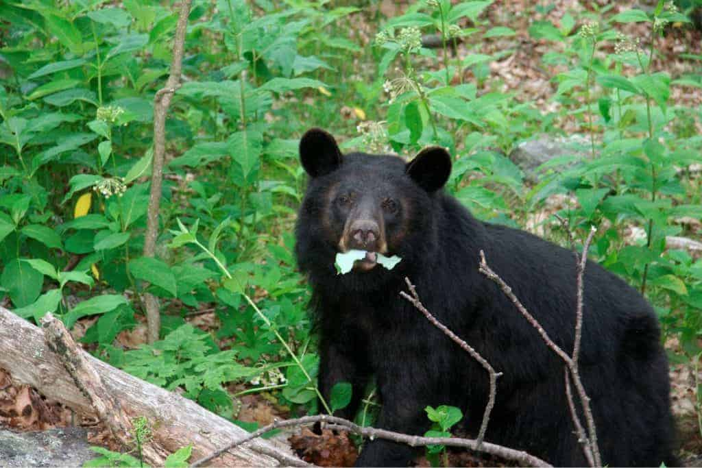 Bear in Shenandoah National park.