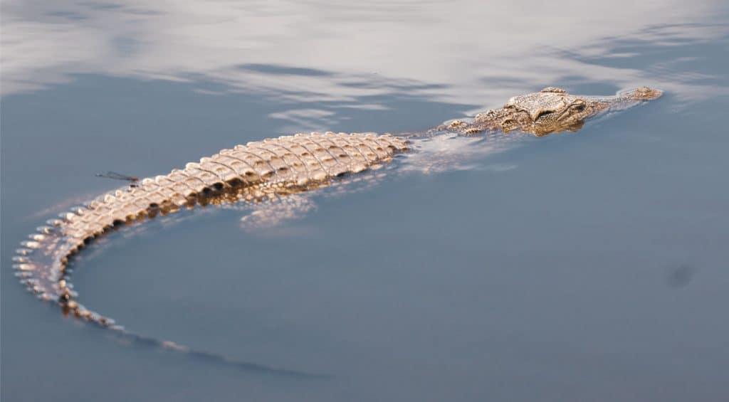 Alligator swimming in Everglades National Park