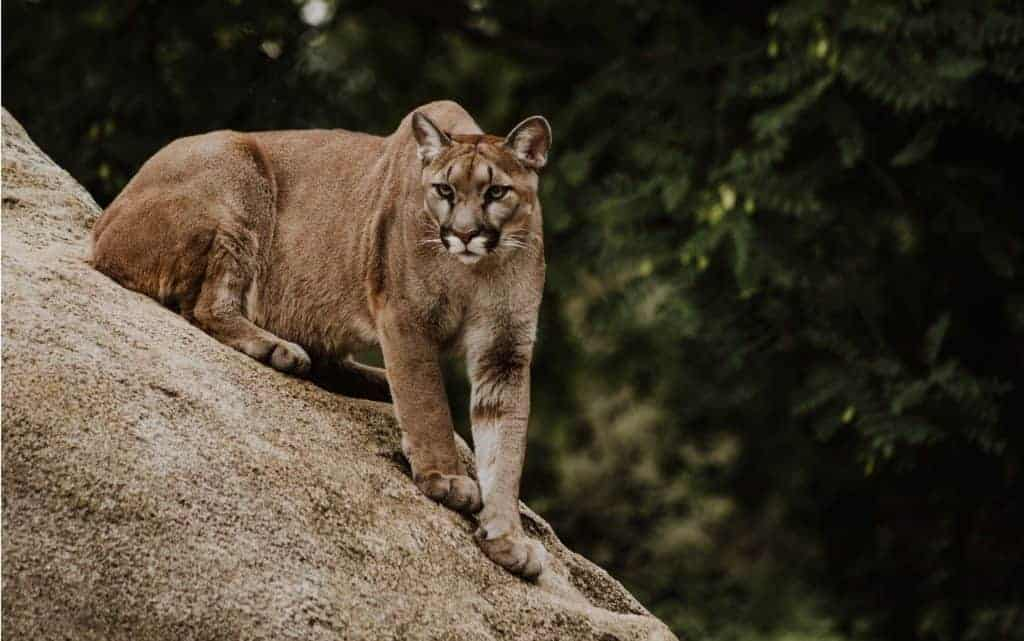 Mountain lion perched on a rock.