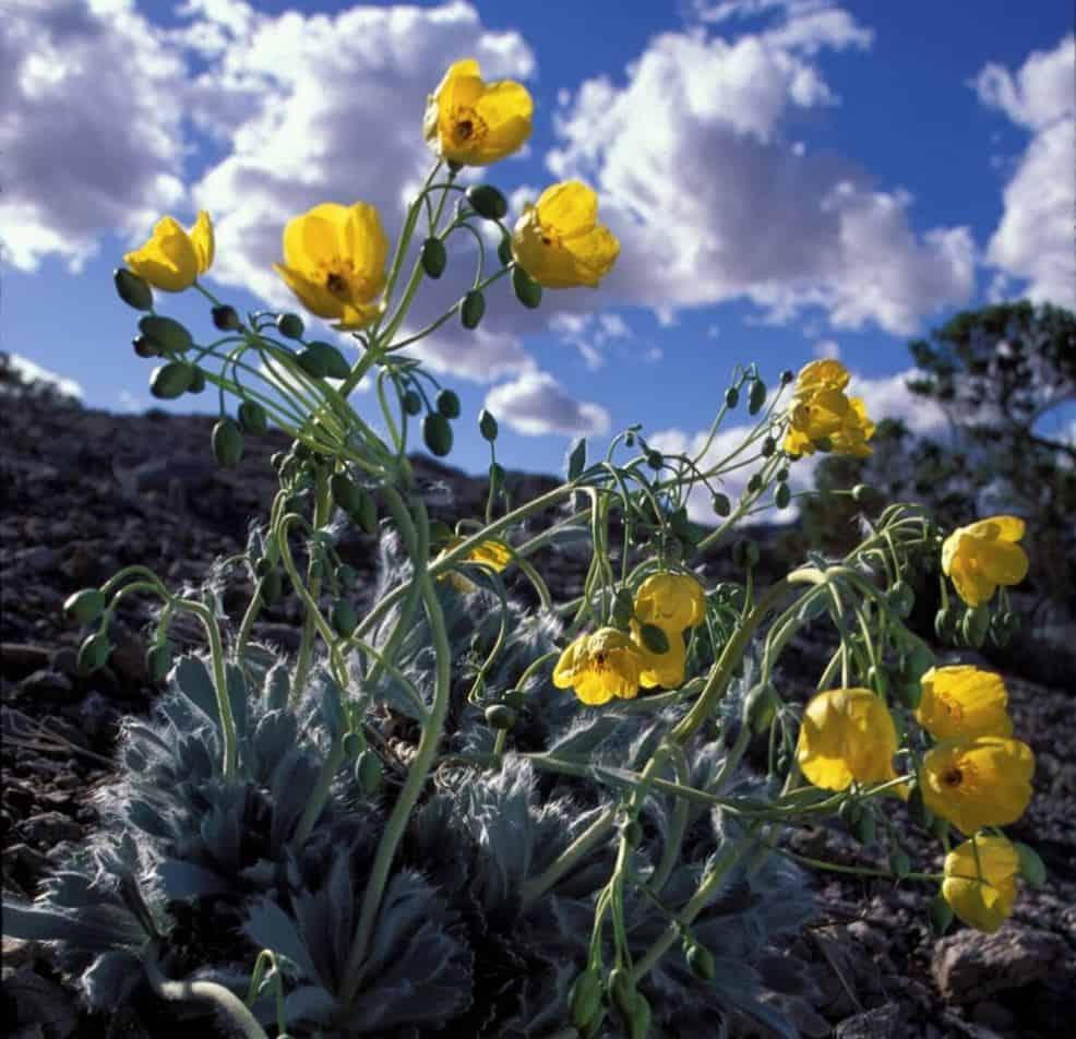 Yellow Las Vegas Bearpoppies blooming at Lake Mead