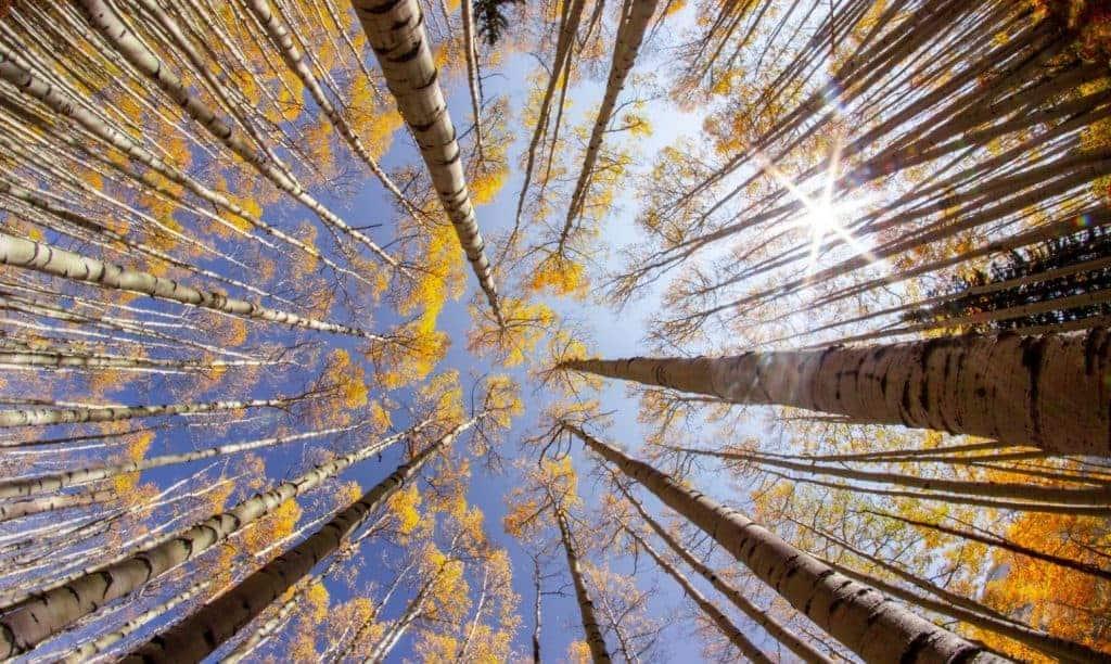 Aspen trees in the fall near Aspen, CO